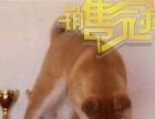AKC国内培育中心售秋田幼犬签订协议健康保证