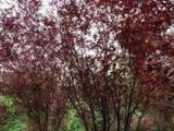 花木價格壽星桃紫葉李紅葉李紅葉碧桃棕櫚夾竹桃含笑球