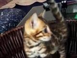 360猫舍精品好猫咪