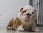 大连出售纯种英国斗牛犬黄白色英牛幼犬 中型英斗犬