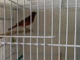 自家繁殖辣椒红桂皮小鸟上海地铁11号线嘉定西附近欢迎前来赏鸟