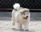 济南哪里有巨型阿拉斯加出售 济南哪里卖健康的阿拉斯加犬