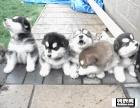 低价出售纯种阿拉斯加犬,包3个月退换