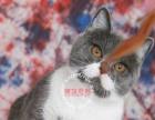英短蓝白蓝猫 繁育首选