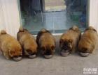 武汉狗狗之家长期出售高品质 松狮 售后无忧