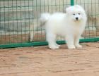 出售纯种健康萨摩耶犬 公母齐全 包犬瘟细小冠状 签协议