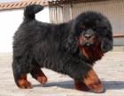 桂林什么地方有狗场卖宠物狗/桂林哪里有卖藏獒犬