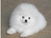 上海出售純種博美俊介幼犬茶杯子博美迷你型博美活