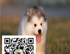 纯种阿拉斯加雪橇犬 极地品质 多色选择 质量保证,全国包运费