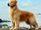出售纯种金毛犬 金毛幼犬 品质好信誉高质量保