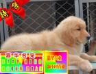 正規場直銷純種健康美系金毛犬 終身質保 可簽協議