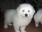 苏州大白熊幼犬多少钱一只苏州哪里有卖大白熊 大白熊价格