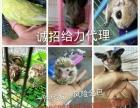 萌宠之家专业出售黄山幼崽魔王松鼠,诚招代理