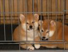 柴犬宝宝 随时看狗 多窝选择 疫苗齐全