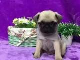出售纯种迷你巴哥幼犬 纯种巴哥 疫苗驱虫已做