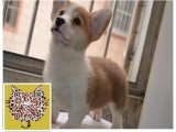 广州出售柯基犬多少钱 广州柯基哪里便宜 广州柯基哪里买有保障