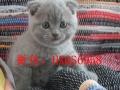 大型猫舍出售异短加菲猫 英短蓝猫 美短虎斑 保健康