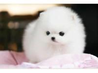 出售纯种哈多利博美犬幼犬活体宠物狗俊介犬袖珍犬长不大的宠物狗
