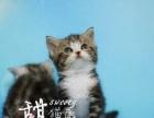 家庭猫舍出售精品美短加白与平价美短标斑