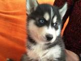出售帅气哈士奇幼犬 疫苗驱虫全做齐 多只幼犬可挑选