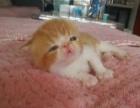 自家繁育双血统纯种加菲猫