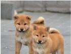 宁波本地犬舍出售精品柴犬包纯包健康送货上门