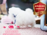 精品繁殖博美犬 可爱甜美 包健康包纯种可自提