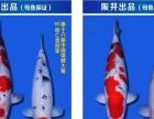 日本进口鱼,高端锦鲤鱼,别墅观赏鱼