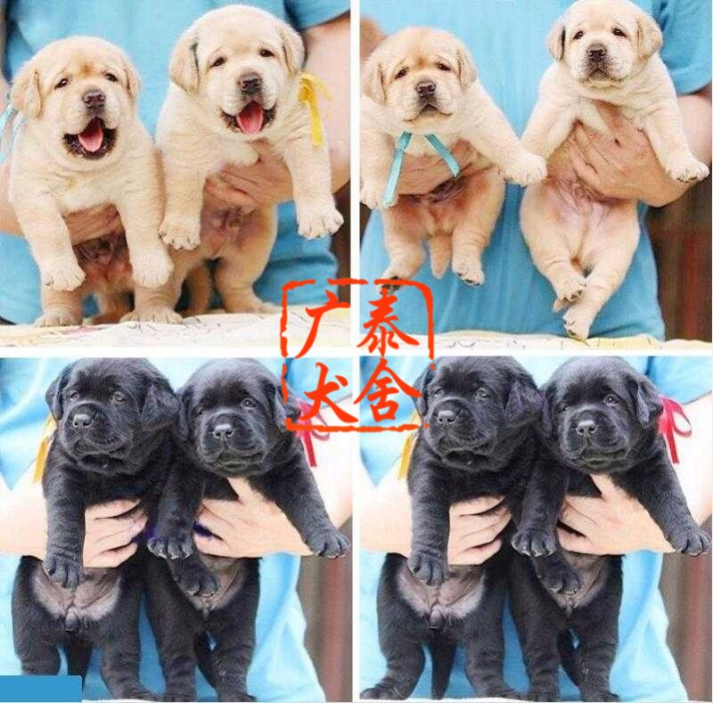 广泰犬舍广州地区 出售精品拉布拉多 可签协议