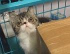家养加菲猫,小帅哥哦