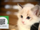 南通哪里有宠物猫出售,南通哪里有卖纯种布偶猫价格