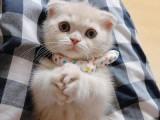 天津猫舍出售包纯种健康波斯猫 全国包邮