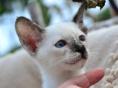 自家猫舍繁育暹罗猫 包纯种 包健康