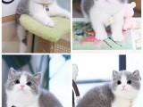 东营出售自家繁殖纯种金吉拉幼猫 赛级品质 漂亮可爱