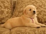 大头大骨架金毛幼犬出售,品相好价格低,上门800一个