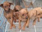 东莞本地狗场直销 纯种小鹿犬幼犬 包健康包三个月签协议