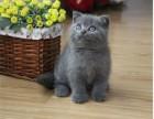 广州猫舍出售纯种英国蓝猫 公母都有包健康纯种健康活泼品相漂亮