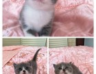 英短蓝猫美短加菲布偶银渐层豹猫暹罗金吉拉