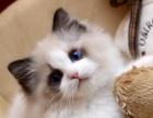 专业养殖场养殖的布偶猫出售快来选购