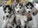 成都哪里有哈士奇犬卖 成都哪里出售纯种哈士奇多少钱