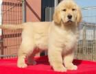天津哪里有金毛犬出售 天津纯种金毛多少钱 天津哪里有金毛犬舍