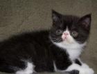 家养的一窝可爱的加菲猫低价出,,品种血 统纯
