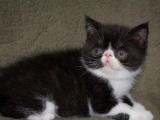萌宠小加菲猫身体健康活泼可爱同城可送猫上门