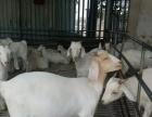 哪里有大型养殖场.白山羊羊苗多少钱一只