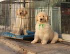 本犬舍成立至今已历经23年,拥有血统种犬四百多只,