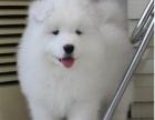 微笑天使澳版萨摩耶幼犬 自己繁殖好品相健康保证