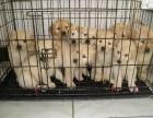 上海通人性的金毛巡回犬 高端赛级大骨量金毛 血