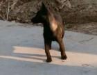 哪里出售纯种马犬 马犬图片