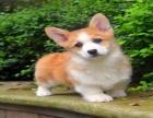 柯基犬多少钱一只 纯种柯基犬一般多少钱一只 柯基犬