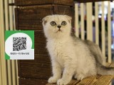 柳州哪里卖折耳猫便宜 柳州哪里卖折耳猫 柳州哪里买折耳猫